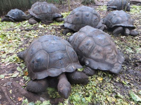 Riesenschildkröten auf Prison Island