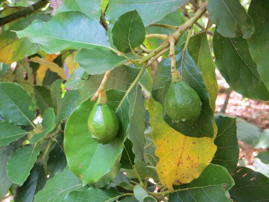Grüne Passionsfrucht