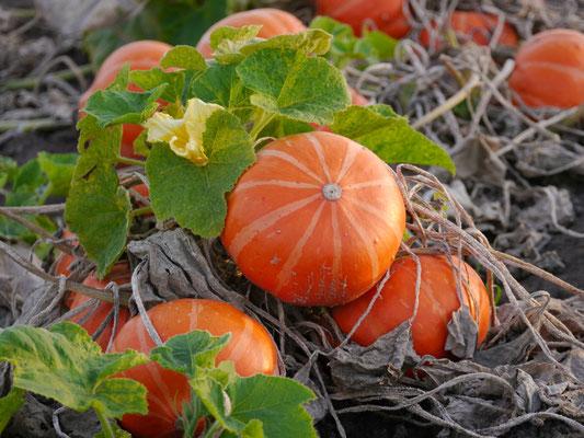 Regionale und saisonale Lebensmittel - Kürbis auf dem Feld von BioBördeland