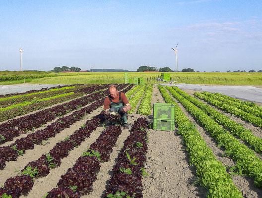 Leckerer Salat mit viel Liebe und Handarbeit gepflegt und gewachsen