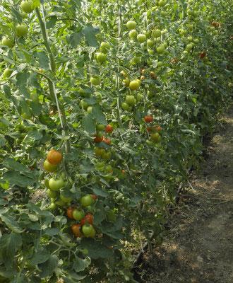 Leckere Tomaten soweit das Auge blicken kann