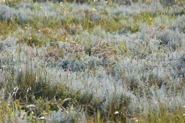 Salzwiesen auf Langeoog