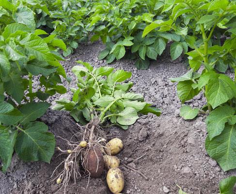 Die Kartoffeln sind so lecker ...