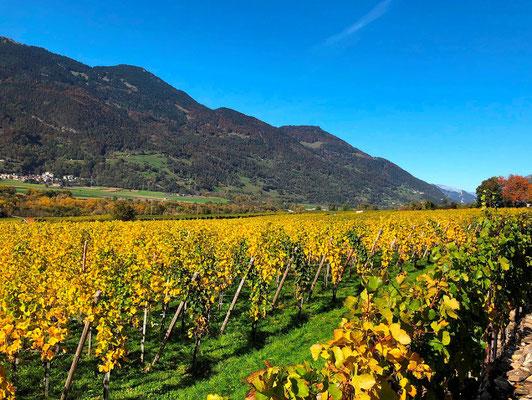 Herbstliche Rebberge im Churer Rheintal.