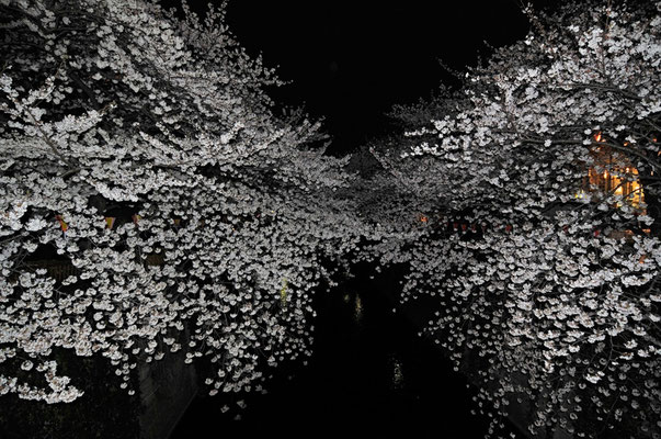 Sakura / photo / 2013 桜