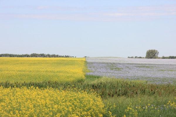 Was auf den violetten Feldern wächst, haben wir nicht herausgefunden. Wunderschön sieht es trotzdem aus!