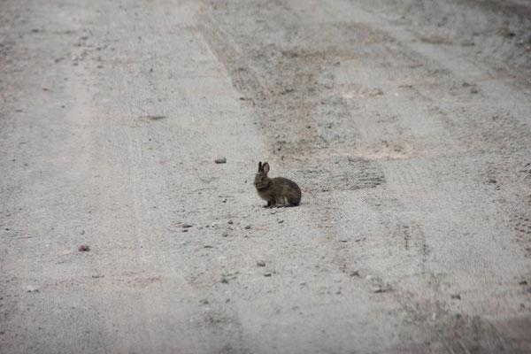 Hasen hoppelten immer wieder mal über den Weg.