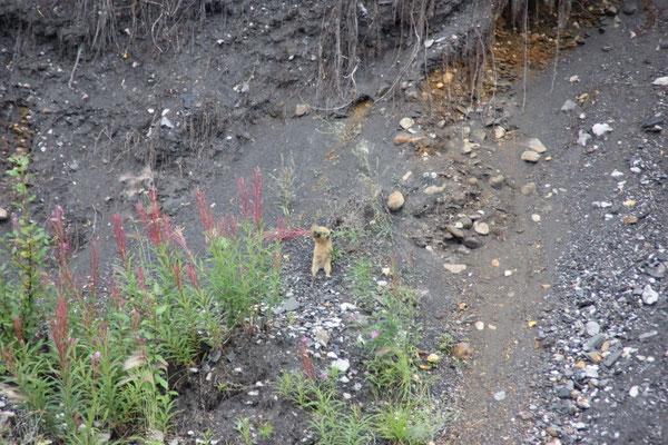 Ein Arctic Ground Squirrel beim Blumen fressen :)