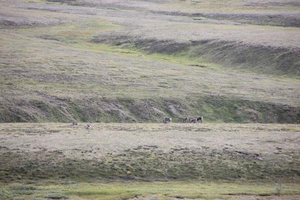 Eine Karibu-Herde.