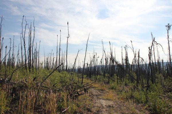 Am Taylor Highway gab es wieder viel abgebrannten Wald.
