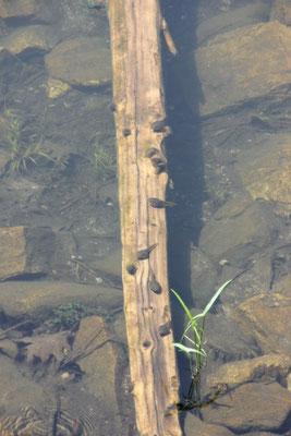 Die Kaulquappen vom Bull Frog sind fast faustgross.
