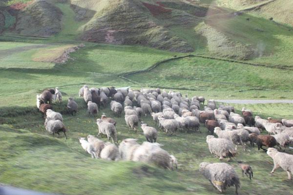 Schafherden sahen wir einige.