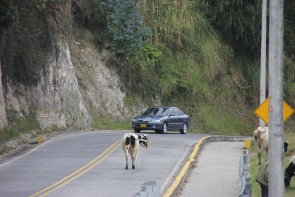 Immer wieder hatten wir Kühe auf der Strasse.