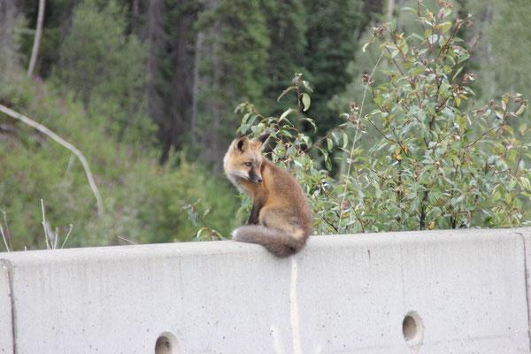 Dieser junge Fuchs war besonders süss.
