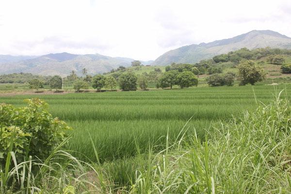 Vorbei an Reisfeldern.