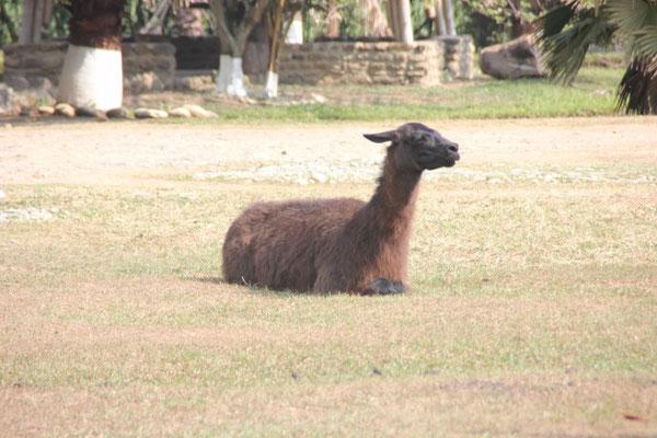 Lama oder Alpaka?