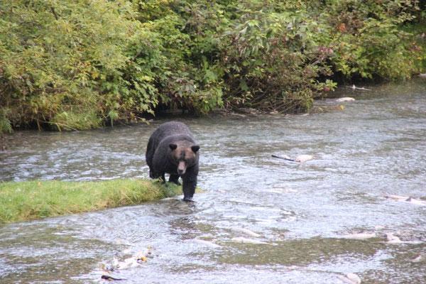 ein relativ dunkler Grizzly