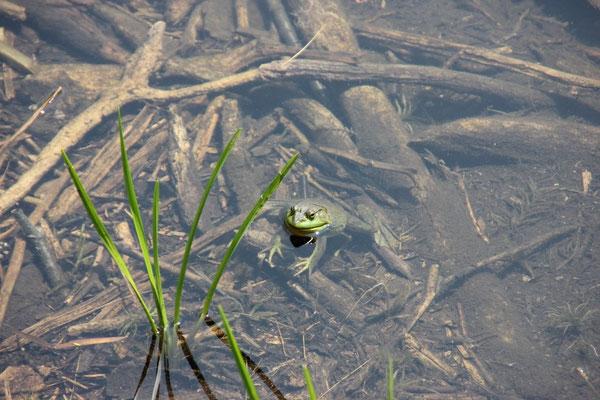 Der Froschkönig höchstpersönlich!