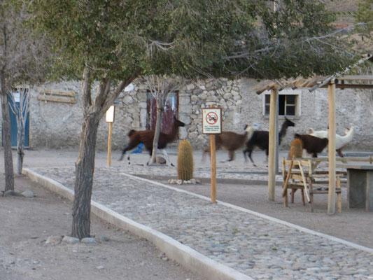 Die Lamaherden spazierten abends durchs Dorf.