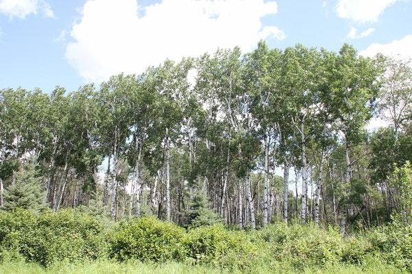 Oft werden die Strassenränder von Wäldern gesäumt.