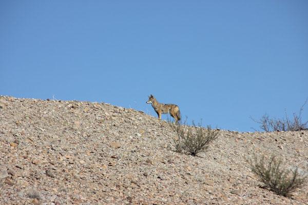 Ein Koyote posierte brav fürs Foto.