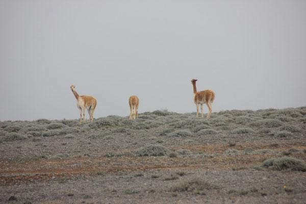 Vikuñas im Nebel