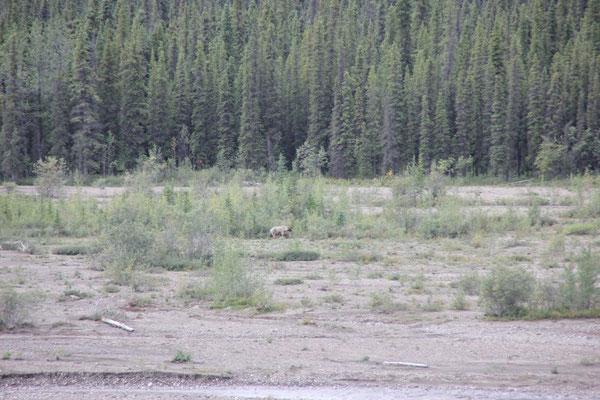 Unser erster Grizzly im Denali Nationalpark.