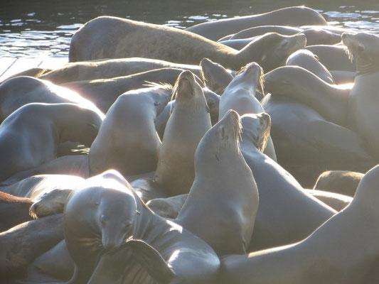 Die Seelöwen genossen das schöne Herbstwetter.