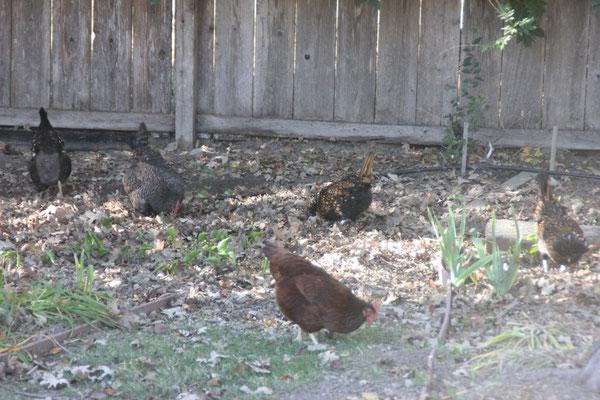 Die Hühner im Garten.