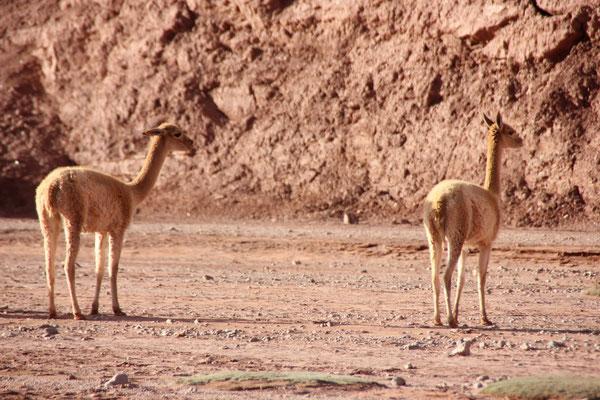Immer wieder trafen wir hier im Süden Vicuña-Herden an.