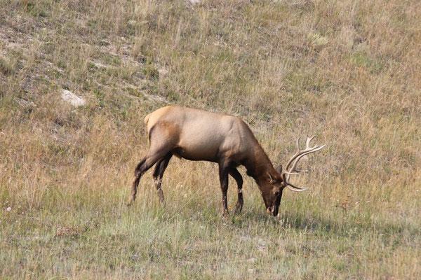 Rehe und Hirsche sah man viele in Jasper