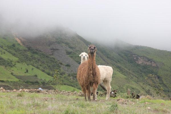 zwei Lamas