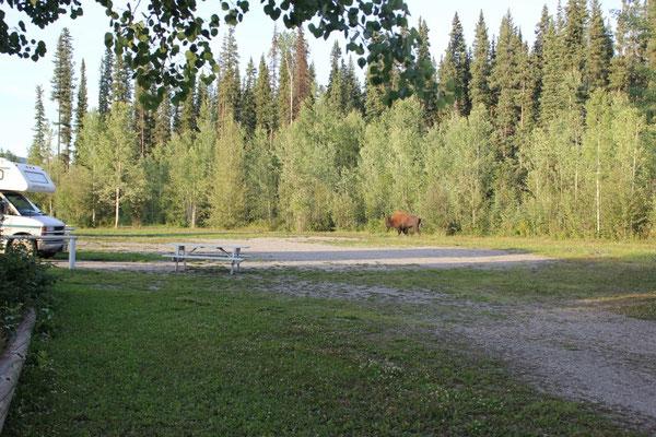 Da spazierte doch tatsächlich ein Bison über den Campingplatz!