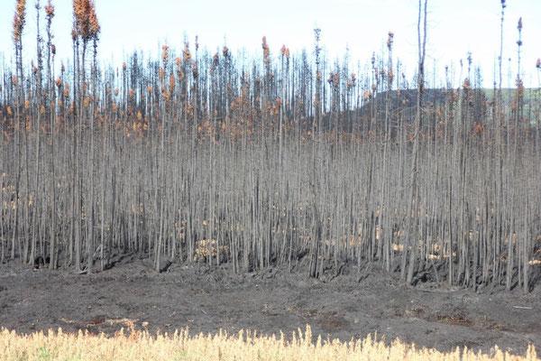 Wir kamen auch an Waldbrandgebiet vorbei, aktive Feuer haben wir bis jetzt aber nicht gesehen.