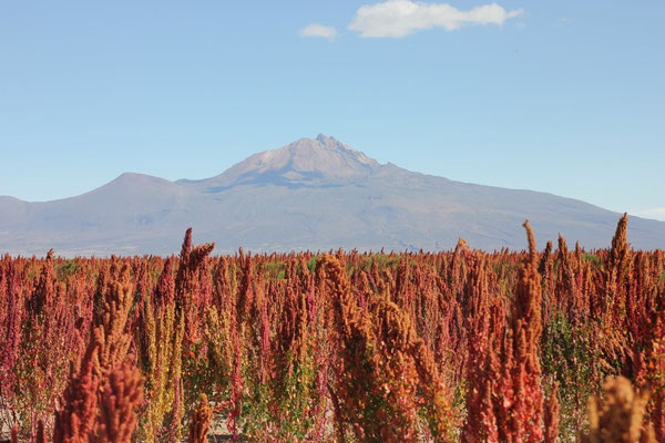 Vorbei an wunderschönen Quinoa-Feldern, in der Ferne der Vulkan Tunupa.
