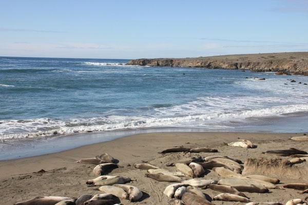 Die Seeelefanten faulenzen den ganzen Tag.