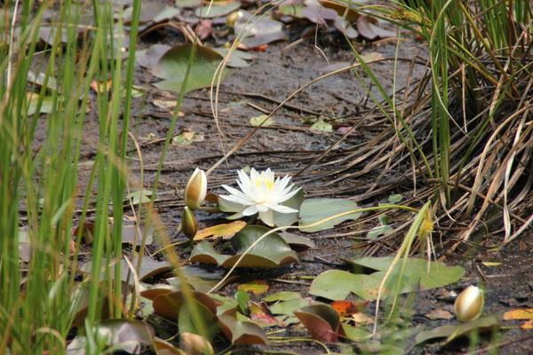 Seerose auf dem Beaver Pond