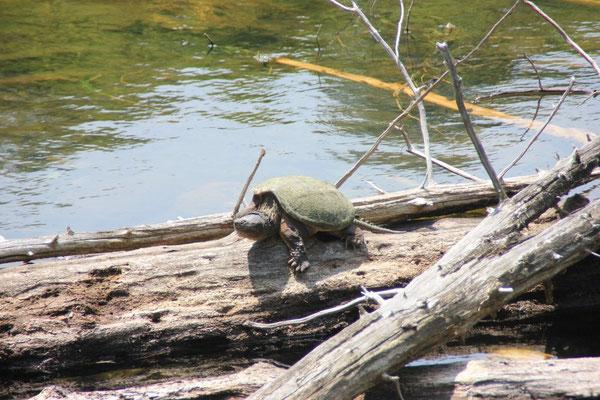 Wer hätte es gedacht! Es gab tatsächlich Schildkröten. Und erst noch welche mit Schwanz.