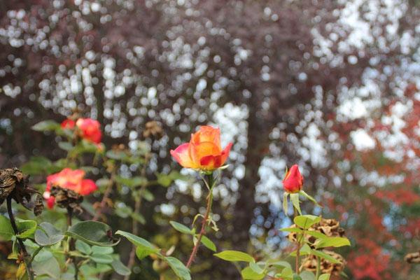 Fein duftende Rosen im Garten