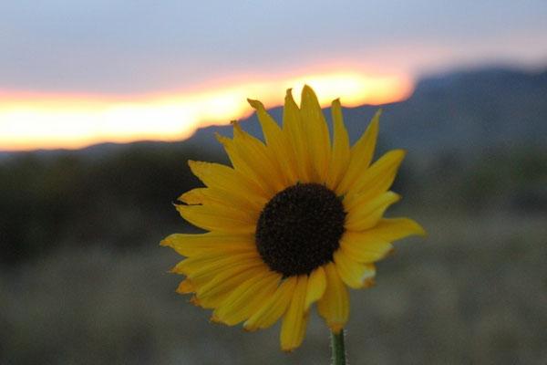 Sonne und Sonnenblume strahlen um die Wette.