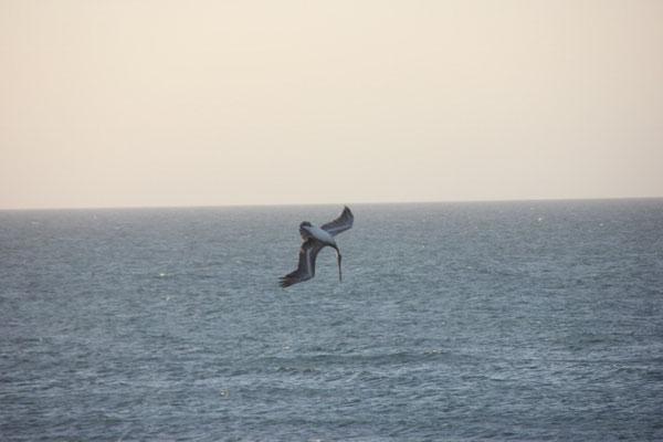 Pelikane beim Jagen.