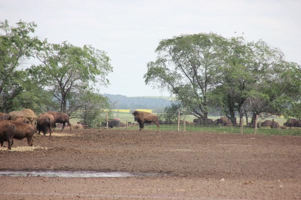 Wir fuhren an ein paar wenigen Bison-Farmen vorbei (nicht mehr im Nationalpark)
