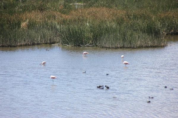 Unsere ersten Flamingos.