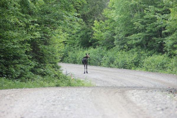 Der erste Elch rannte davon, der zweite dagegen posierte brav für ein Foto.