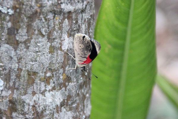 Wird wohl dieser Schmetterling aus ihr? Nein - viel zu klein.