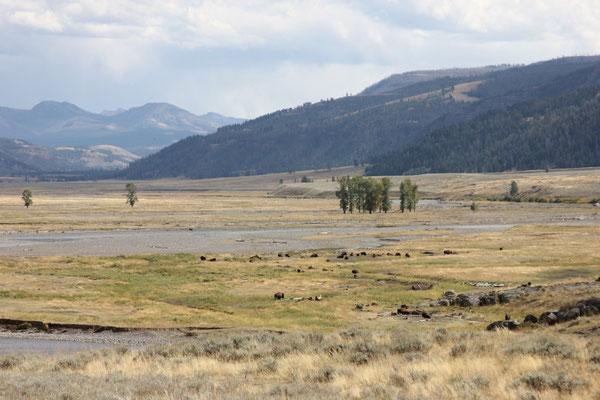 Büffelherde im Lamar Valley