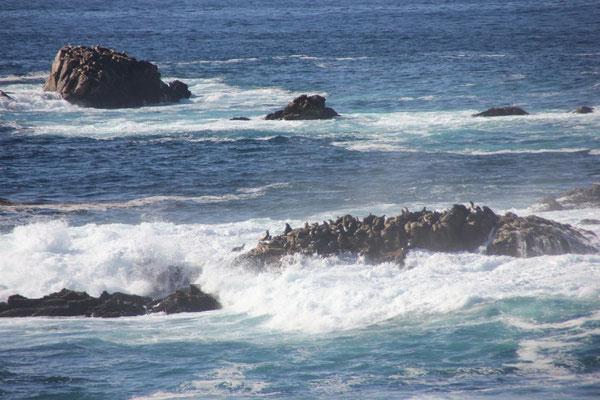 Auf dem Felsen sitzen ganz viele Seelöwen.