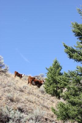 Die wollen hier durch? Nach diesen Kühen ging es mit ordentlich Schräglage unter einem Nadelbaum hindurch...