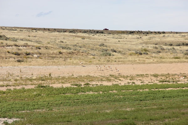 Pronghorn Herde