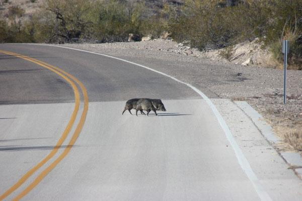Und hier rennen gerade kleine Schweinchen, genannt Javelinas, über die Strasse...